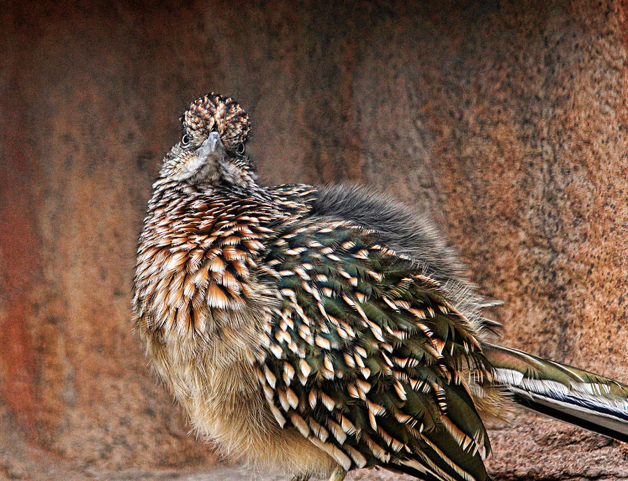 Roadrunner Photograph - Hey There by Judy Vincent