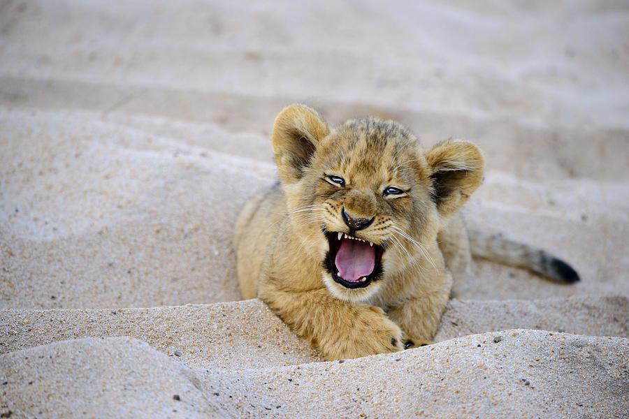 Lion Photograph - Hey You by David Yack