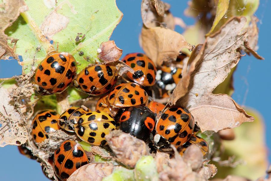 Alien Species Photograph - Hibernating Harlequin Ladybirds by Dr. John Brackenbury