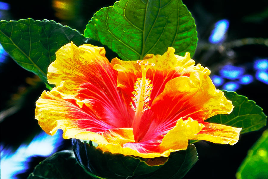 Hibiscus Alani An Intensely Colorful Hibiscus Flower Photograph By
