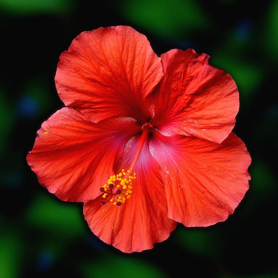 Hibiscus Flower Photograph By Dave Sandt