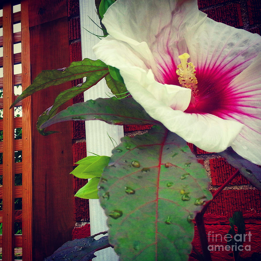 Hibiscus Flower In Bloom Photograph