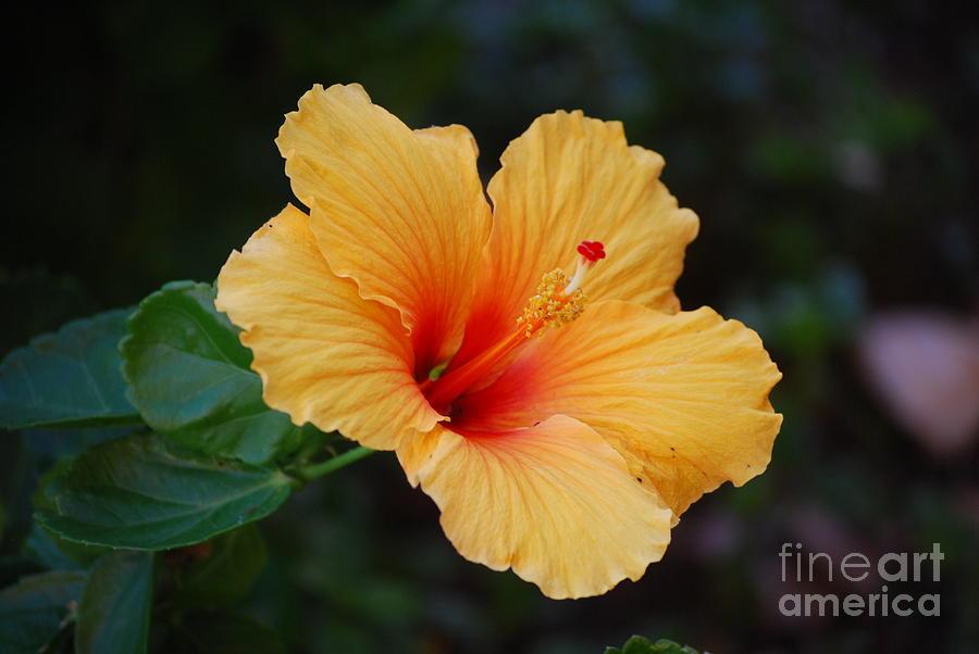 Hibiscus Flower In Puerto Rico Photograph By Dejavu Designs