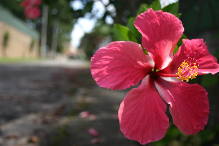 Hibiscus Photograph - Hibiscus by Frederico Borges