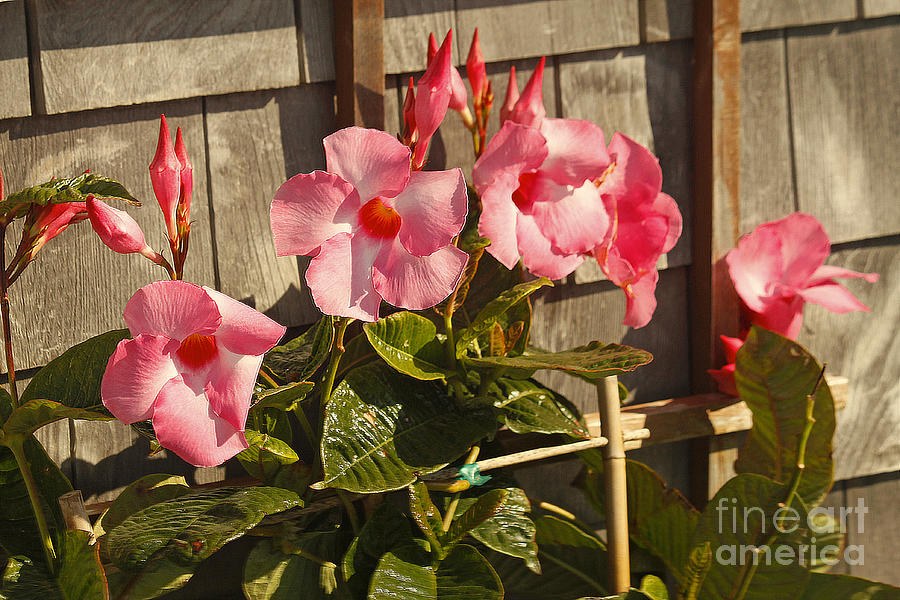 Hibiscus in Provincetown by Tom Doud
