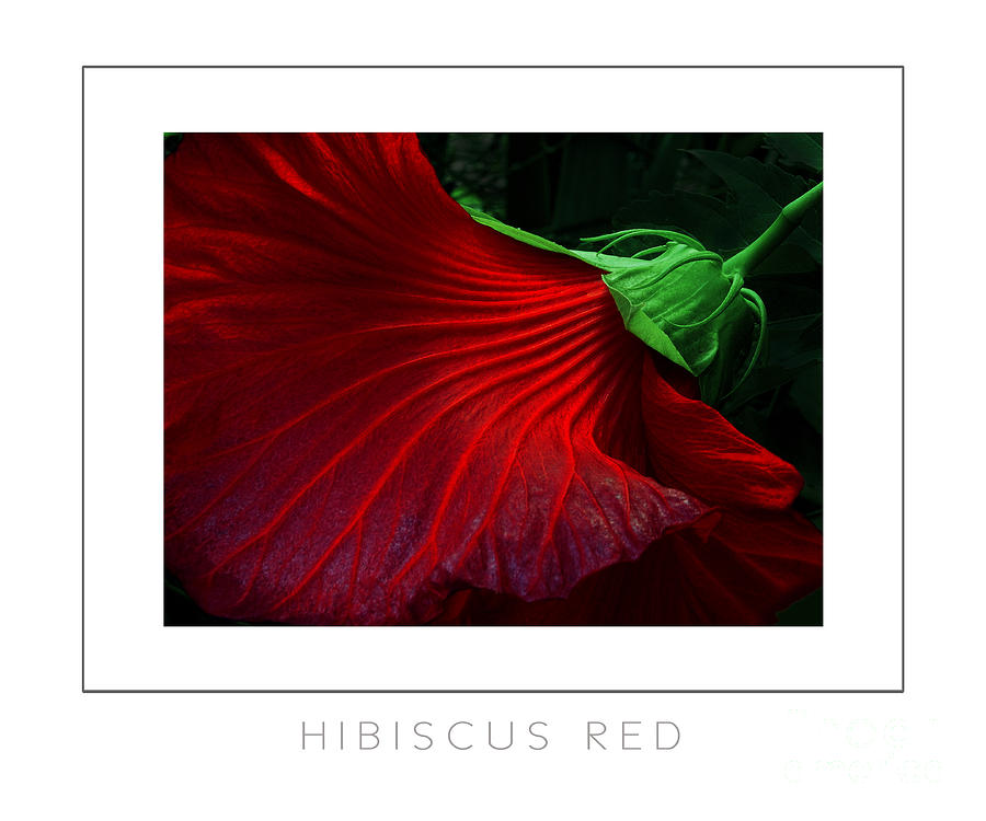 Hibiscus Photograph - Hibiscus Red Poster by Mike Nellums