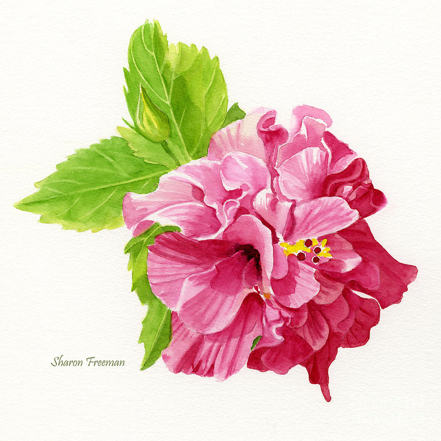 Hibiscus Watercolor Paintings Fine Art America