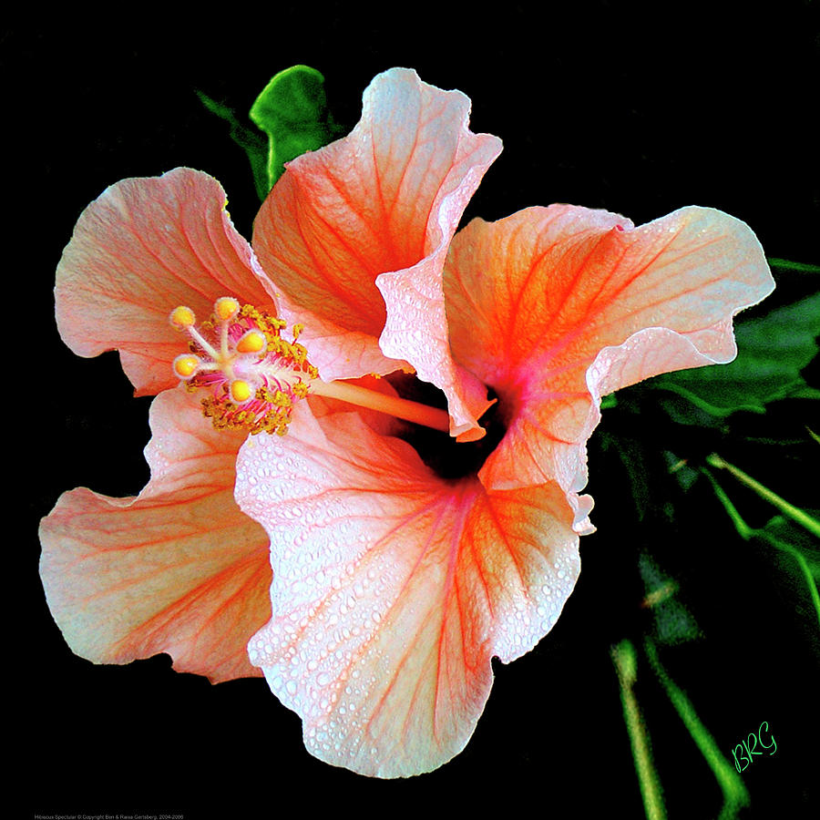 Tropical Flower Photograph - Hibiscus Spectacular by Ben and Raisa Gertsberg