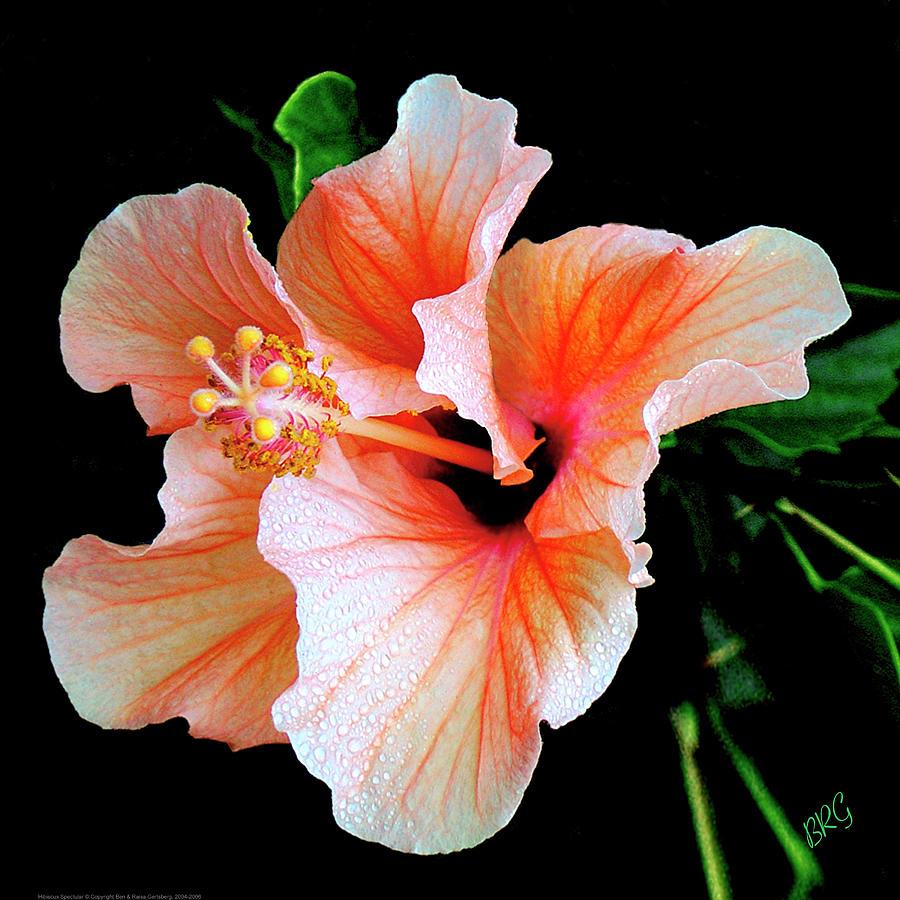 Hibiscus Photograph - Hibiscus Spectacular by Ben and Raisa Gertsberg