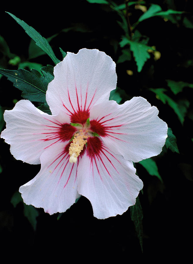 Hibiscus Syriacus Var Red Heart Photograph By Brian Gadsby