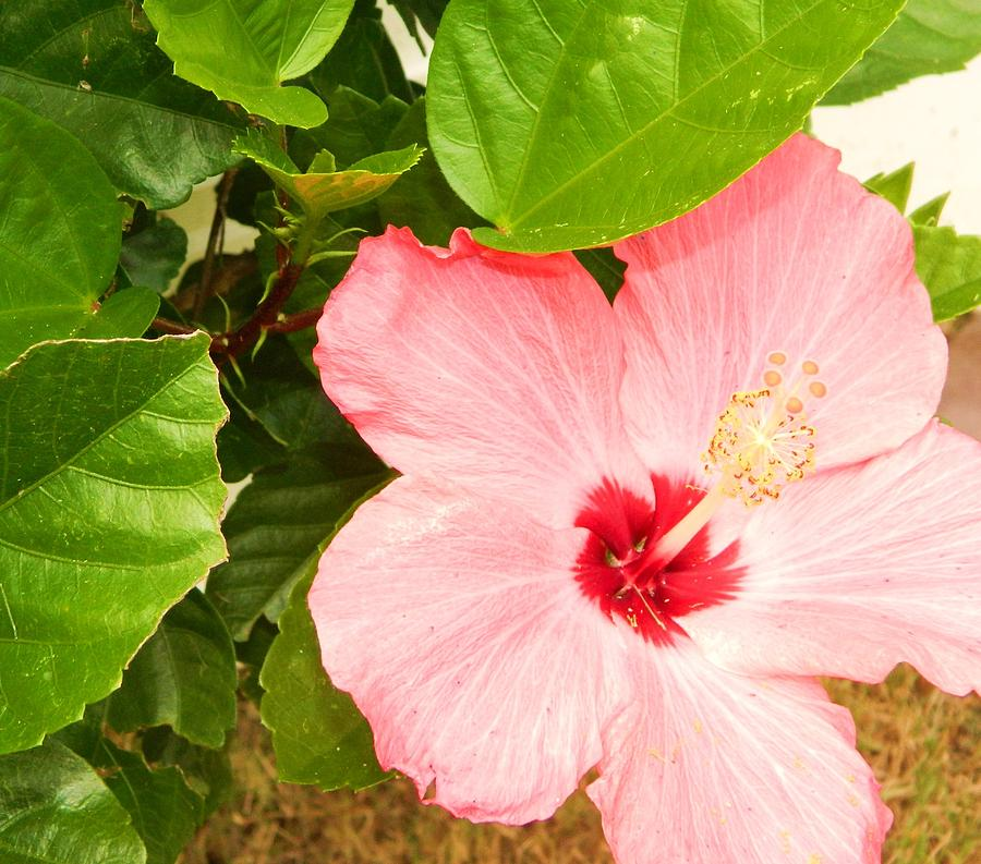 Hibiscus Tree Photograph By Heather White