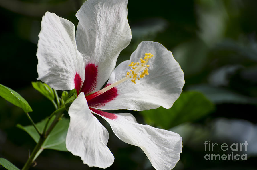 White Hibiscus Photograph - Hibiscus White Wings by Terri Winkler