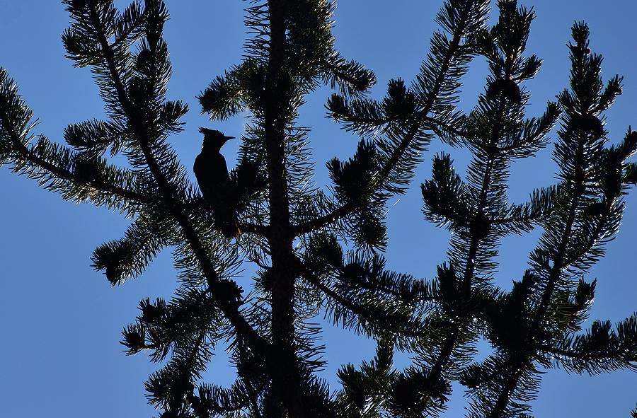 Bluejay Photograph - Hidden Bluejay In Silhouette by Rich Rauenzahn