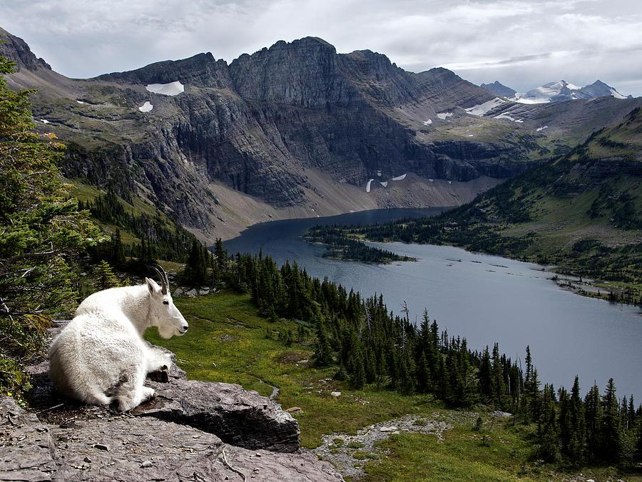 Glacier National Park Photograph - Hidden Lake Mountain Goat by Robert Yone