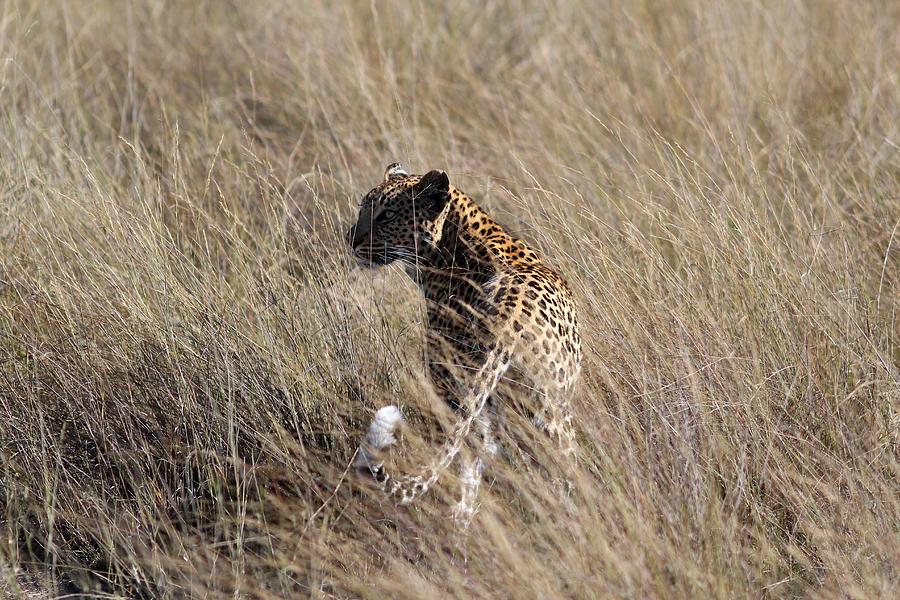 Hidden Leopard Photograph By Hanna Emmilyn