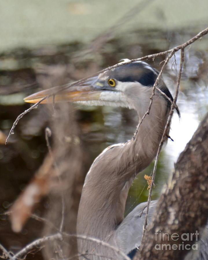 Heron Photograph - Hide And Seek by Carol  Bradley