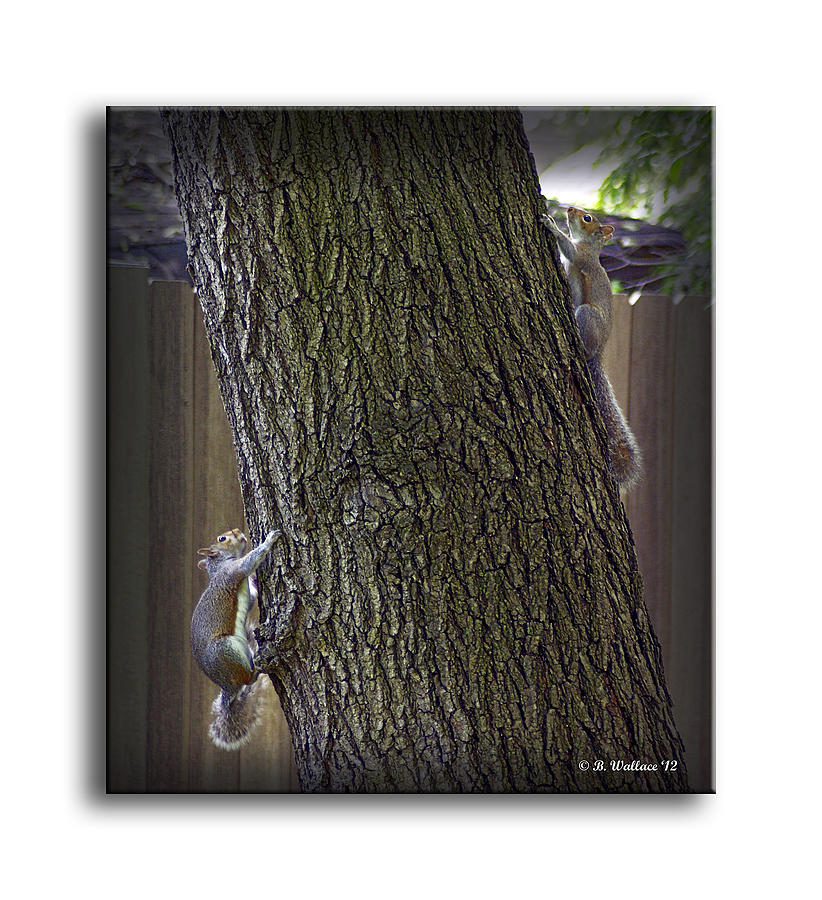 2d Photograph - Hide And Seek Squirrels by Brian Wallace