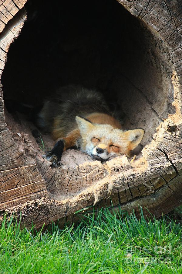 Fox Photograph - Hideout by Veronica Batterson