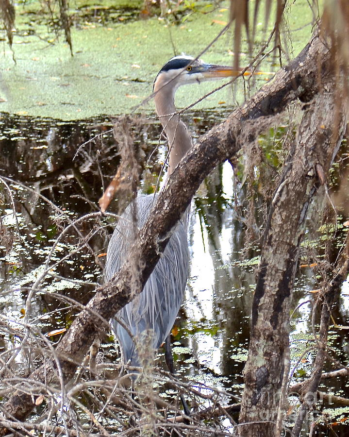 Heron Photograph - Hiding Heron by Carol  Bradley