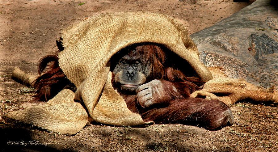 Orangutan Photograph - Hiding In Plain Sight by Lucy VanSwearingen