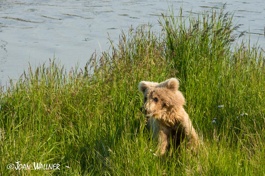 Alaska Photograph - Hiding in Tall Grass by Joan Wallner