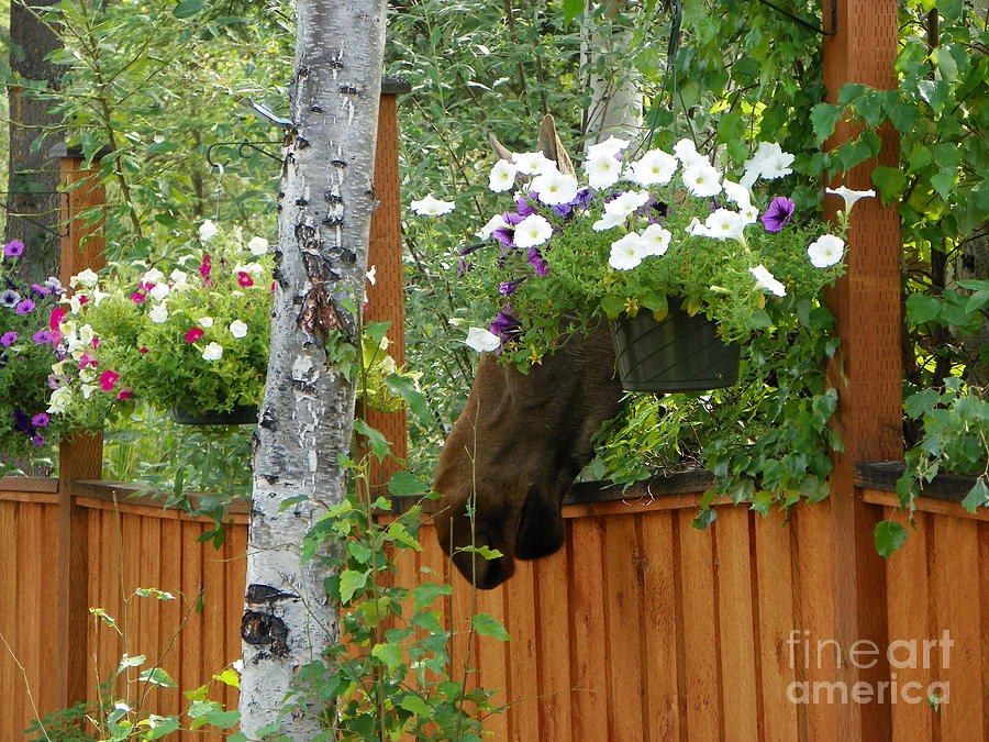 Moose Photograph - Hiding Moose by Jennifer Kimberly