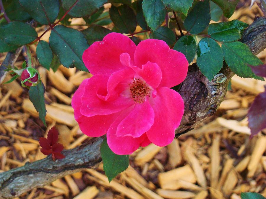Arbor Photograph - High Intensity Red Rose by Van Ness