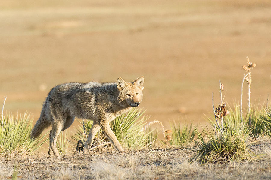 Colorado Photograph - High Plains Coyote At Sunset by Adam Pender