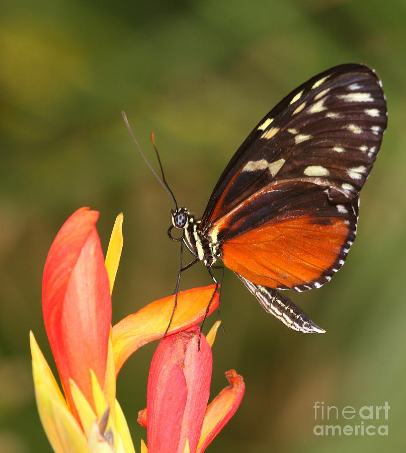 Longwing Photograph - High Upon A Flower by Ruth Jolly