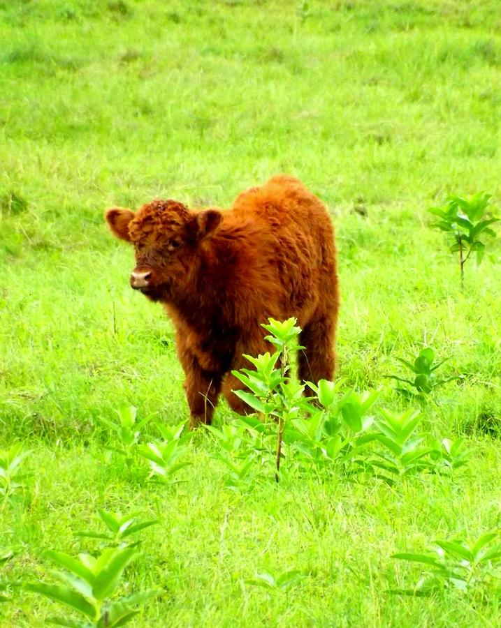 Calf Photograph - Highland Calf by Dancingfire Brenda Morrell