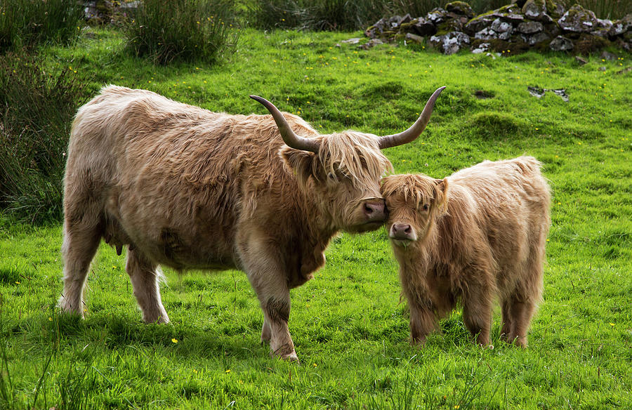 Highland Cattle And Calf Photograph by John Short / Design Pics