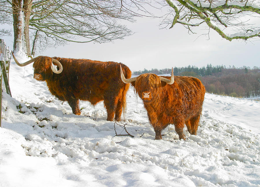 Highland Cattle in snow Photograph by Alan Oliver - photo#22