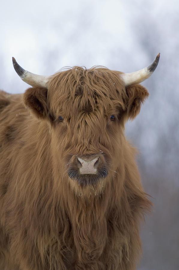 Highland Cattle Kodiak Island Alaska Photograph by Michael Quinton