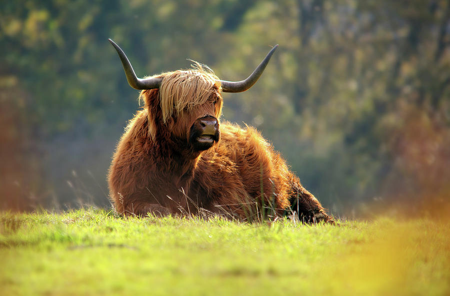 Highland Cattle Resting Photograph by Andrew Thomas
