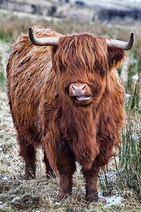 Highland Cow Photograph - Highland Coo by John Farnan