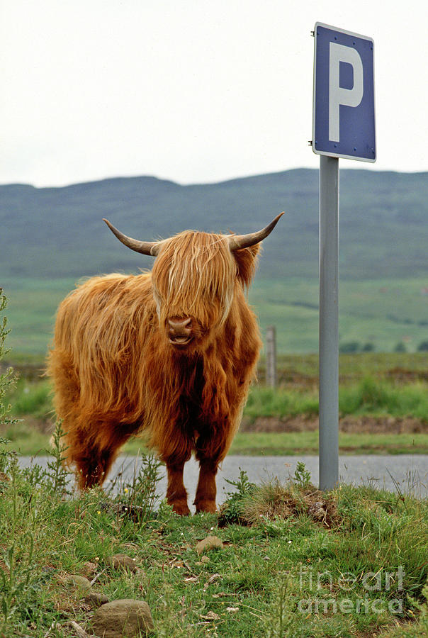 Highland Cow Photograph - Highland Cow by David Davies