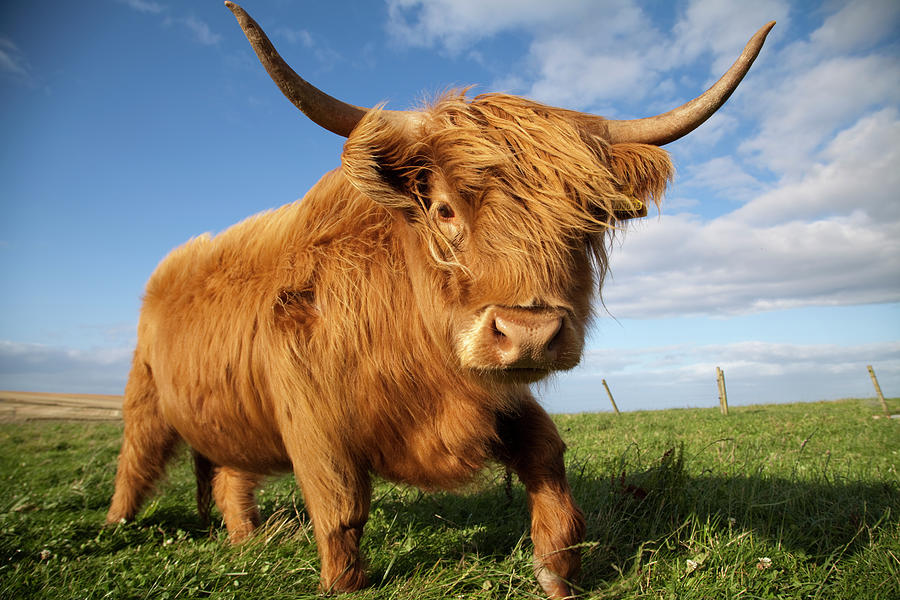 Highland Cow, Scotland Photograph by Gannet77
