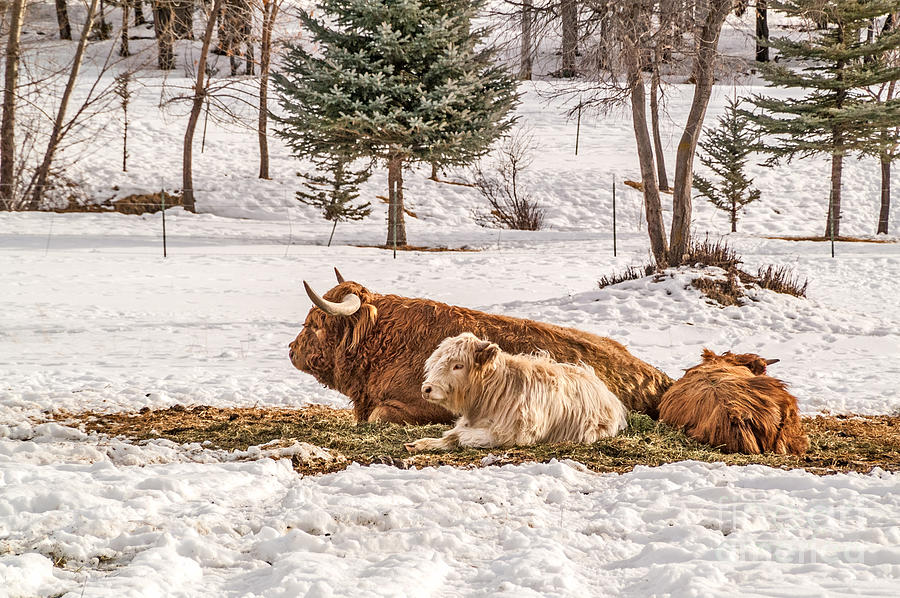 Highland Cow with Calves by Sue Smith