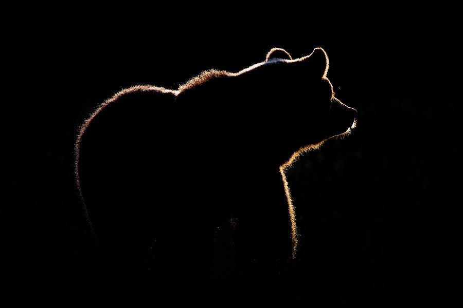 Bear Photograph - Highlight by Gorazd Golob
