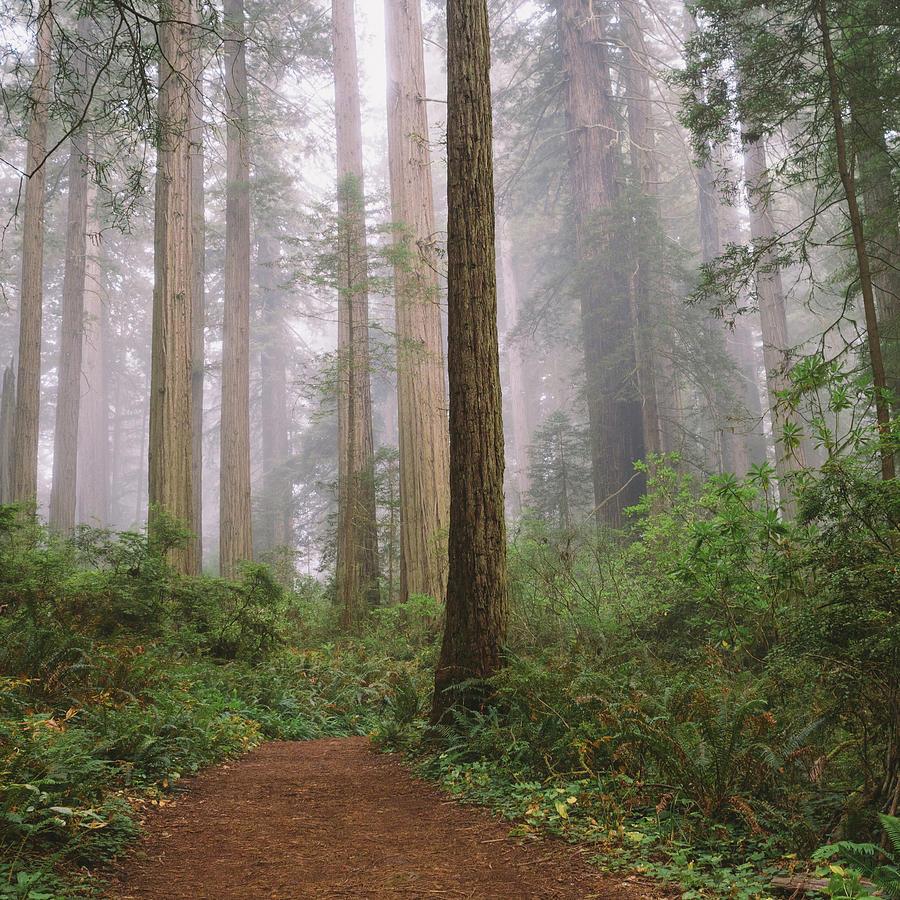 Hiking Through Californias Redwoods Photograph by David Hoefler