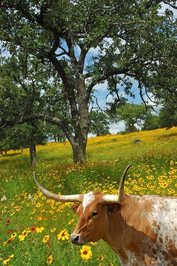 Texas Longhorn Photograph - Hill Country Longhorn by Robert Anschutz
