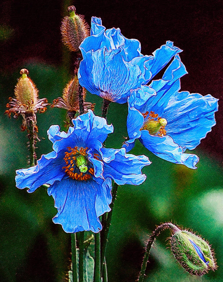 Himalayan Blue Poppy Flower Painting By Jeelan Clark