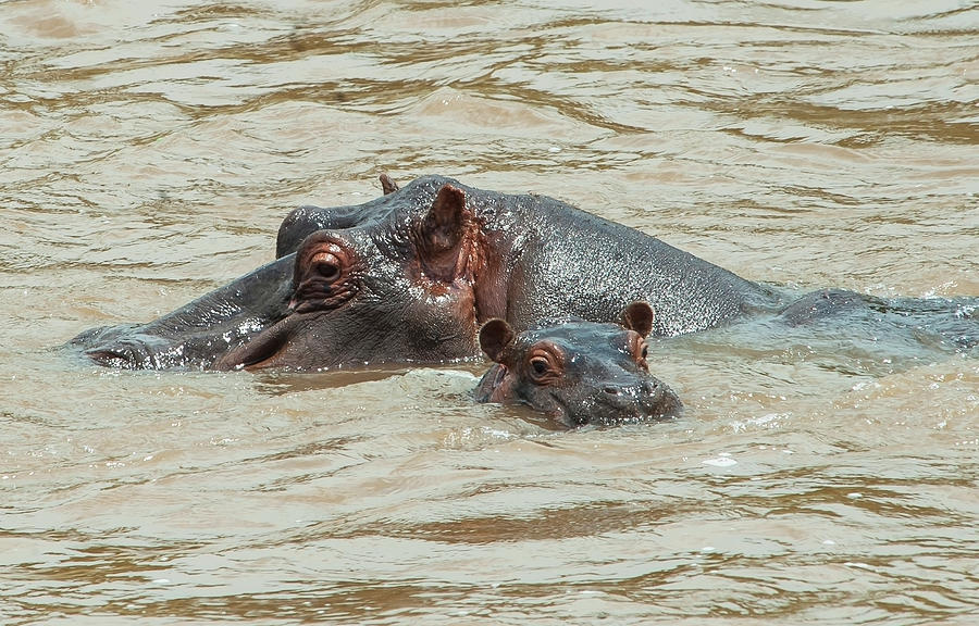 Hippopotamus Adult With Baby In The Photograph by Diane Levit / Design Pics