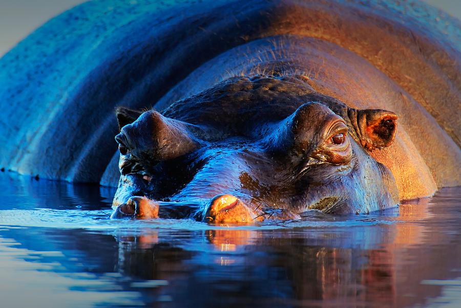Hippopotamus Photograph - Hippopotamus  At Sunset by Johan Swanepoel