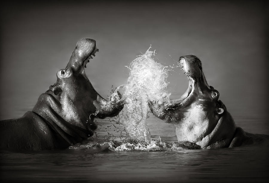 Hippo Photograph - Hippos Fighting by Johan Swanepoel