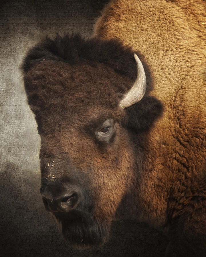 Buffalo Photograph - His Majesty by Ron  McGinnis