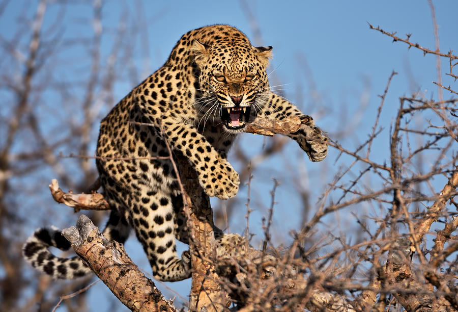 Hissing Leopard On A Tree In Namibia Photograph by Freder