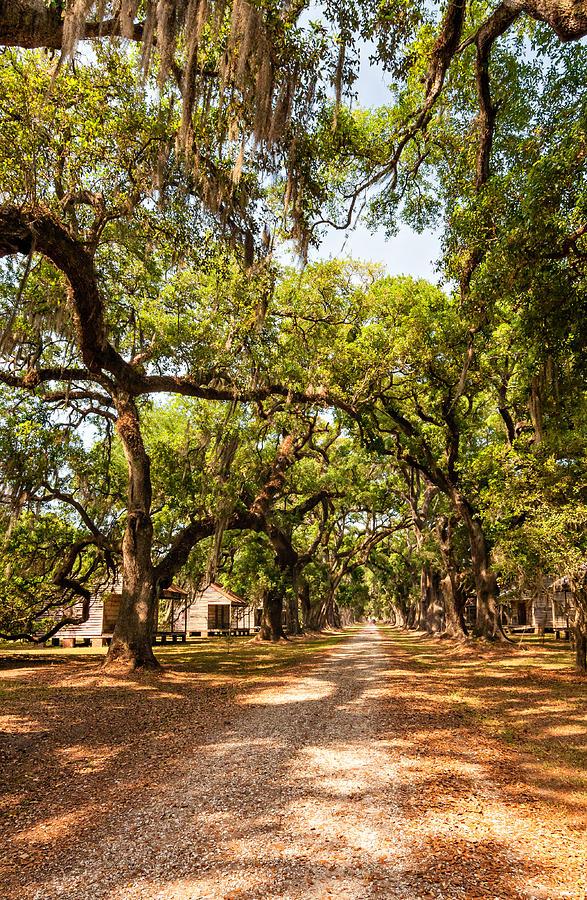 Evergreen Plantation Photograph - Historic Lane by Steve Harrington