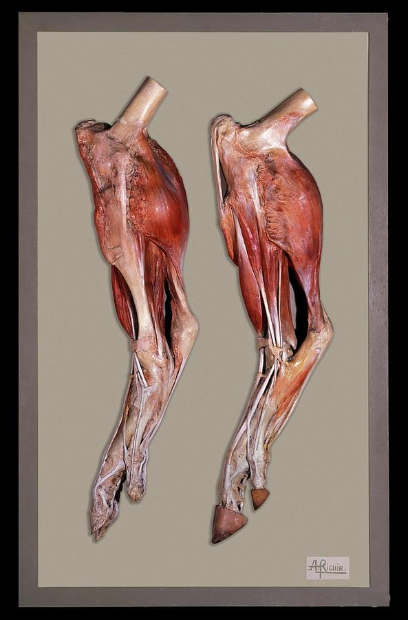 Animal Photograph - Historical Animal Anatomy Model by Patrick Landmann/science Photo Library
