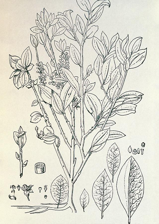 Artwork Photograph - Historical Art Of Coca Plant by George Bernard/science Photo Library